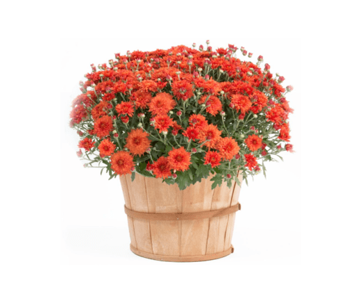 Bushel Mum - Orange
